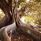 Fig tree by Adriano Carrideo