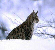 Wild Linx cat - Northern Portugal by Penny V-P