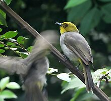 Yellow Throated Bulbul by lokeshmosale