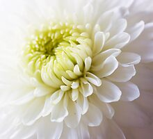 Soft White Petals by Lynne Morris