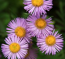 Wild Asters by David Kocherhans