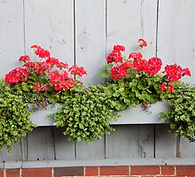 Geranium Planter by phil decocco