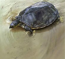 SENEGAL FLAPSHELL TURTLE Cyclanorbis senegalensis (NOT A PHOTOGRAPH OR PHOTOMANIPULATION) by DilettantO