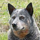 Australian Cattle Dog  by Margaret Stockdale