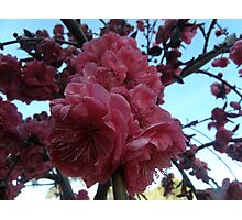 spring blossoms - weeping red peach Photographic Print