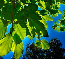 Bright Green Leaves against a Blue Backdrop by Alex  Jeffery