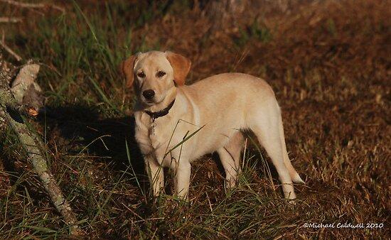 Labrador Retriever by Lisa Jones Caldwell