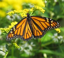 Monarch butterfly by hummingbirds