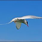 Arctic Tern by ten2eight