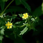 Intermediate Cinquefoil (Potentilla intermedia L.) by Mike Oxley