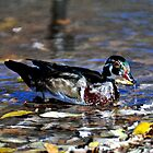 Wood Duck by Marc Evans