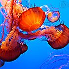 Jelly Fish by Danny Kern