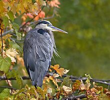 Fall Colors / Great Blue Heron by Gary Fairhead