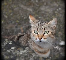 Tabby cat portrait by Catherine Ames