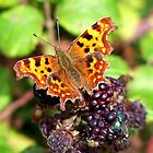 The Comma Butterfly and Friend by hootonles