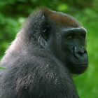 Gorilla by ilis  Finnerty Warren