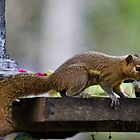 Temple Thief, Plaintain Squirrel, Callosciurus notatus by Normf