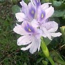 Iris at Okhissa by Dan McKenzie