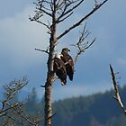 Bald Eagles by Robin  Koster
