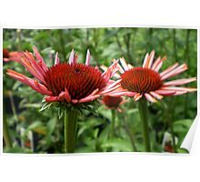 young coneflowers Poster