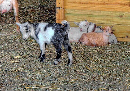Baby Goats by ECH52