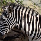 Zebra KwaZulu-Natal South Africa by Sean Elliott