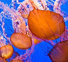 Sea Nettles by TeresaB