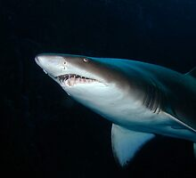 Grey Nurse Shark by Sean Elliott