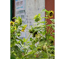 Urban Sunflowers Photographic Print