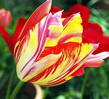 Candy Striped & Red Tulips by Bev Pascoe