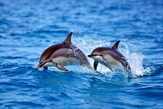 Midway Atoll Spinner Dolphins by Michael S Nolan