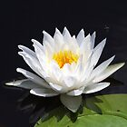 Water Lily by Gail Falcon