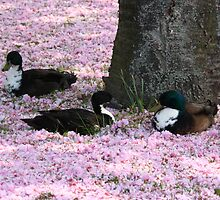 Ducks on a bed of Blossom by Paul Bettison