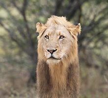 Long Mane Lion by Neil  Bradfield