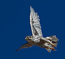 100210 Prairie Falcon by Marvin Collins