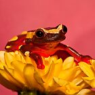 Clown Tree Frog by Val Saxby