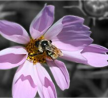 Bumble Bee On Cosmos by SmilinEyes