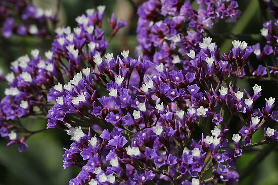Susan Moss     Portfolio     Purple Statice FlowersStatice Flower
