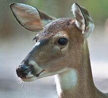 Deer with Ears Forward by imagetj