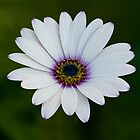 White African Daisy by Bel Menpes
