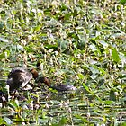 Pair of Little Grebe with nest full of eggs. by Sandra O'Connor