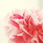 Close up of Carnation by JRoseStudio