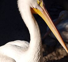 White pelican by ♥⊱ B. Randi Bailey