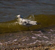 Wave Wash, Montana Sea Gull Taking a Bath by Donna Ridgway