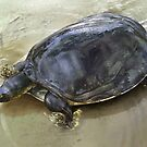 SENEGAL FLAPSHELL TURTLE Cyclanorbis senegalensis CROPPED ART (NOT A PHOTOGRAPH OR PHOTOMANIPULATION) by DilettantO