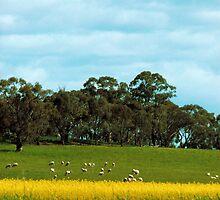 A Farmer's wealth, Canola & Lambs by elsha