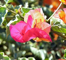 Bougainvillea  by elsha
