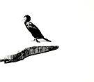 Karabatak (Cormorant) by kutayk