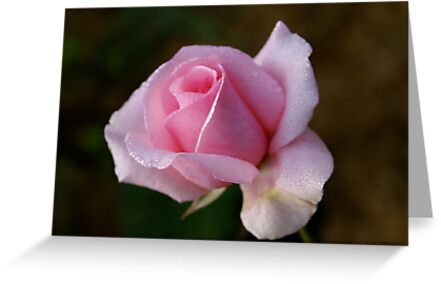 Dew over a rose, my garden, Cranbourne, Vic. by Reneefroggy