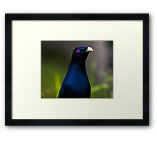Australian Male Satin Bower Bird 1 Framed Print